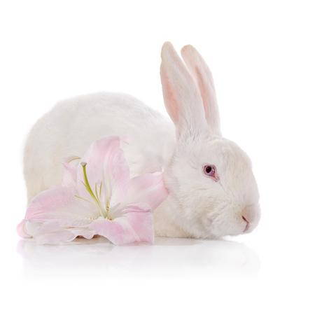 Weißes Kaninchen Und Weiß-rosa Lilie Auf Weißem Hintergrund ...