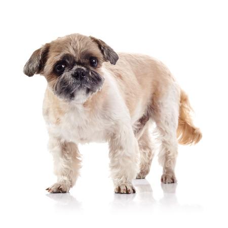 doggie: The decorative amusing small beige doggie of breed of a shih-tzu