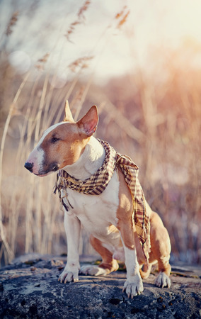 checkered scarf: Red dog of breed a bull terrier in a checkered scarf sits on a stone.