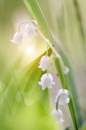 Forest white flowers - lilies of the valley. photo