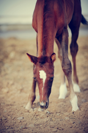 racehorses: Portrait of a brown foal with an asterisk on a forehead. Stock Photo