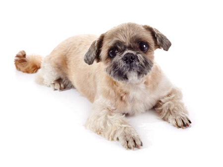 The amusing small doggie of breed of a shih-tzu lies on a white background