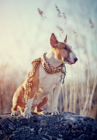 checkered scarf: The attentive red dog of breed a bull terrier in a checkered scarf sits on a stone. Stock Photo