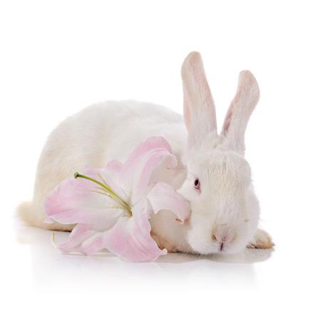 Weißes Kaninchen Mit Weiß-rosa Lilie Blume Auf Einem Weißen ...