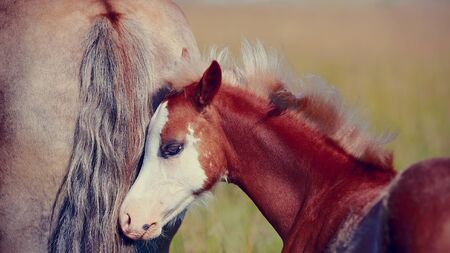 racehorses: Foal on a meadow. The horse is grazed. Horse on a pasture.