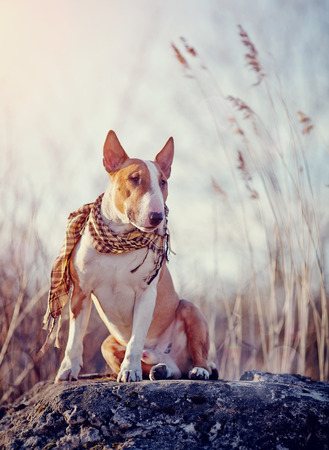 checkered scarf: Attentive bull terrier in a checkered scarf sits on a stone.