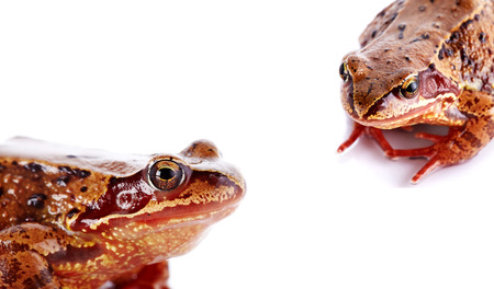 urban wildlife: Portrait of a brown frog on a white background.