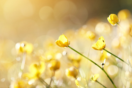 Yellow flowers of a buttercup on a meadow lit with the sun.