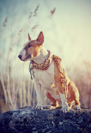 checkered scarf: Attentive red dog of breed a bull terrier in a checkered scarf sits on a stone. Stock Photo
