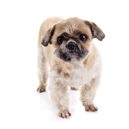 shihtzu: Decorative amusing small beige doggie of breed of a shih-tzu