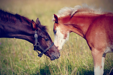 racehorses: Two foals on a meadow. The horses is grazed. Horses on a pasture. Stock Photo