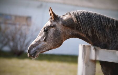 Portrait of a sports thoroughbred stallion behind a protection.