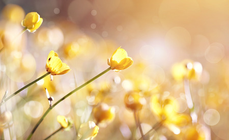 Background with yellow flowers of a buttercup on a meadow lit with the sun.