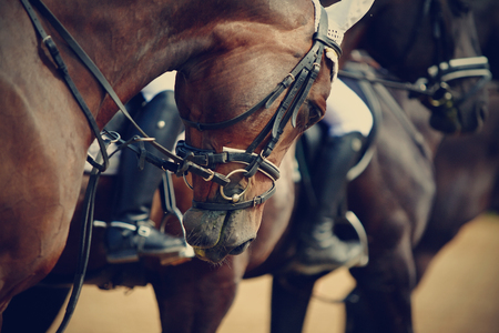 Sports horses in ammunition before competitions. Portrait of a sports stallion. Riding on a horse. Thoroughbred horse.