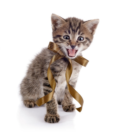 mewing: The striped mewing kitten with a bow on a white background.