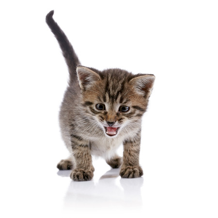 Striped amusing mewing kitten on a white background.