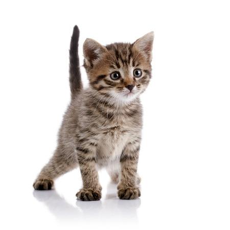kitten: Striped amusing domestic kitten on a white background.