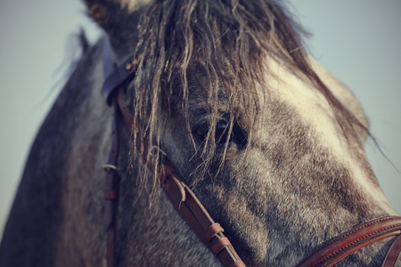 bridle: Portrait of a sports stallion in a bridle.