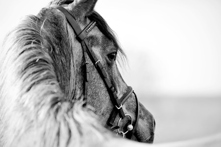 bridle: Black-and-white portrait of a sports stallion in a bridle. Stock Photo