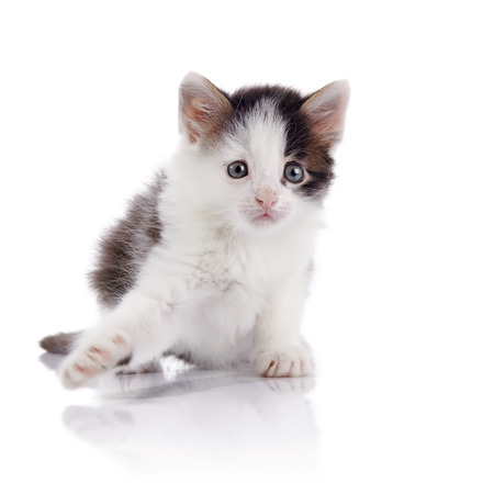 Kitten, white with spots, on a white background.
