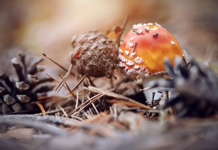 'fly agaric': Small red fly agaric and pine cones. Stock Photo