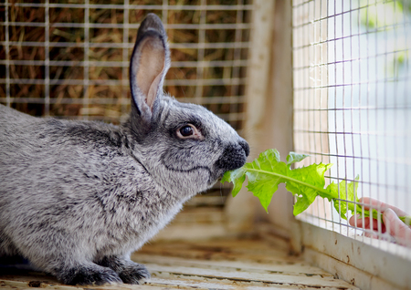 The gray rabbit in a cage eats a leaf of a dandelion.
