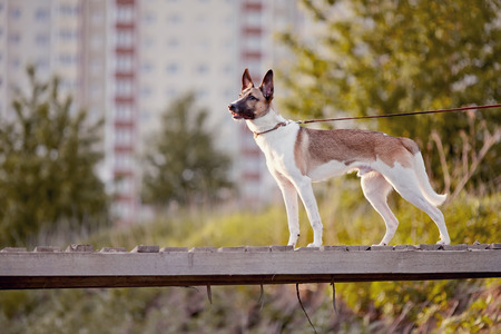 domestic: The domestic dog on walk costs on the wooden bridge.