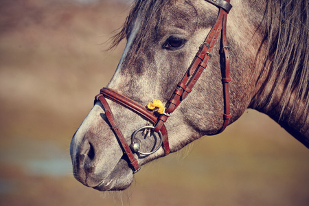 bridle: Portrait of a sports horse in a bridle. Stock Photo