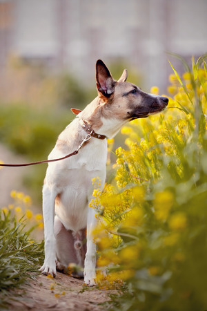 purebred: Not purebred domestic dog smells yellow flowers.