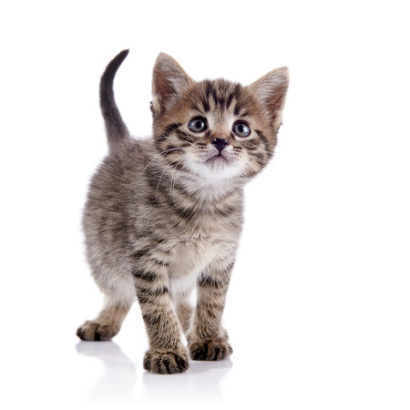 Striped lovely domestic kitten on a white background. Stockfoto