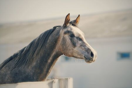 thoroughbred: Portrait of a sports thoroughbred stallion behind a protection.