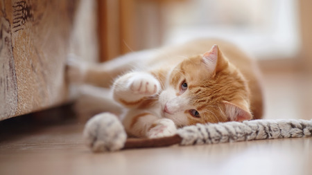 Red with white the striped playful cat lies on a floor with a toy. Stock Photo