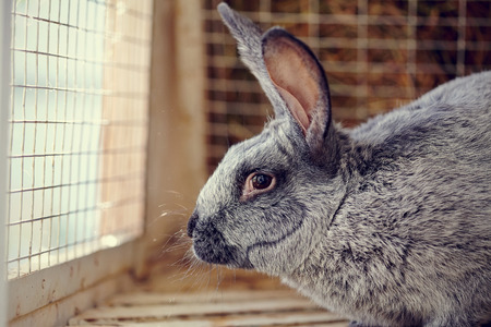 rabbit in cage: Portrait of a gray rabbit in a cage.