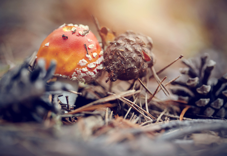 'fly agaric': Small fly agaric, red in white speck, and pine cones.