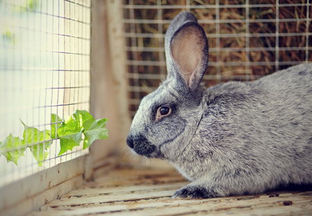 rabbit in cage: Gray rabbit in a cage and a leaf of a dandelion. Stock Photo