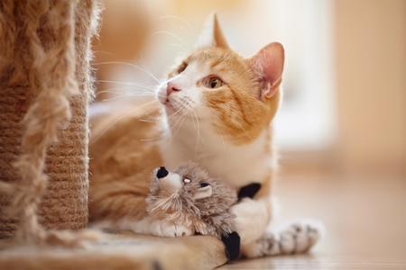 domestic animals: Portrait of a red domestic cat on a floor with a toy. Stock Photo