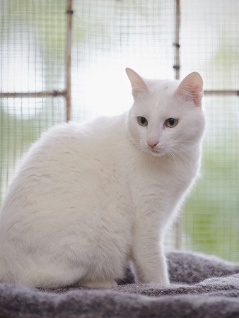 ojos verdes: Beautiful white domestic cat with green eyes.