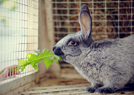 rabbit in cage: The gray rabbit in a cage eats a leaf of a dandelion.