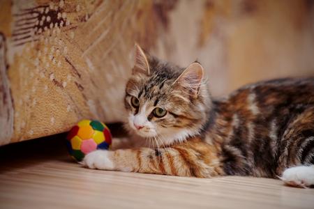 beautiful eyes: El gatito dom�stico de un color multicolor juega con una pelota.