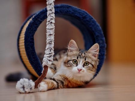 Il gattino domestico di un colore multi-colored gioca su un pavimento. Archivio Fotografico - 47469484