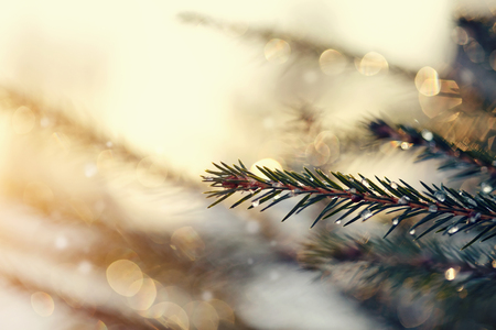 frost winter: The fir-tree branches sparkling on the sun in ice droplets. Stock Photo