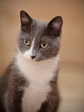 purr: Portrait of a smoky-gray domestic cat with green eyes.