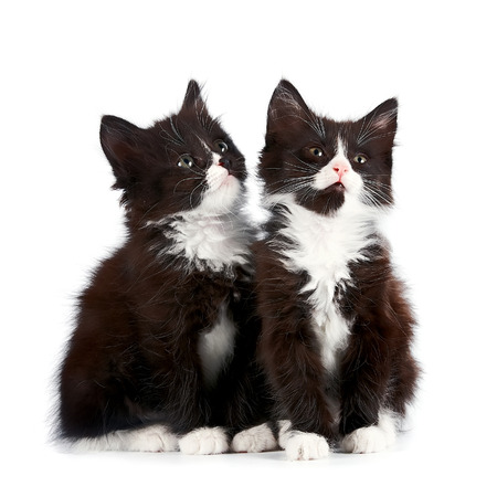 Two black and white kittens sit on a white background.