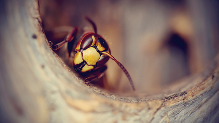 stinger: Portrait of a big wasp - a hornet protects an entrance to a nest. Stock Photo