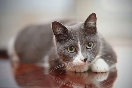 domestic: Domestic nice cat of a smoky-white color with green eyes. Stock Photo