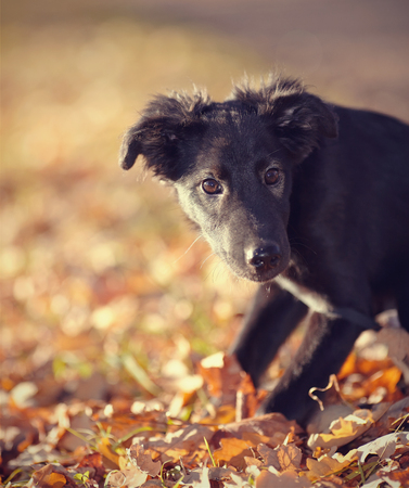 purebred: Portrait of a black not purebred puppy with autumn leaves.