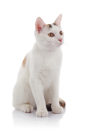 White domestic cat with yellow eyes sits on a white background Stock Photo