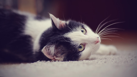 domestic animals: Portrait white with black the domestic cat lying on a floor.