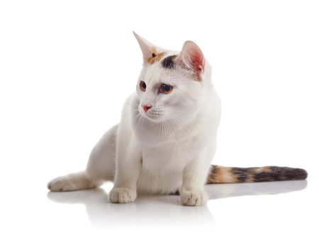 guarded: The white guarded domestic cat with a multi-colored striped tail sits on a white background