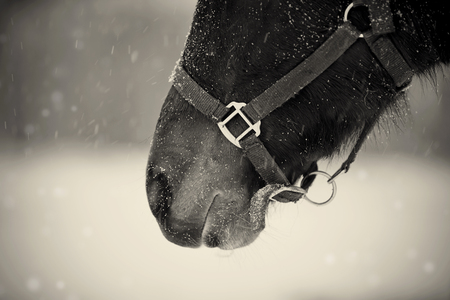 halter: Not color photo of a muzzle of a brown horse in a halter on the falling snow.